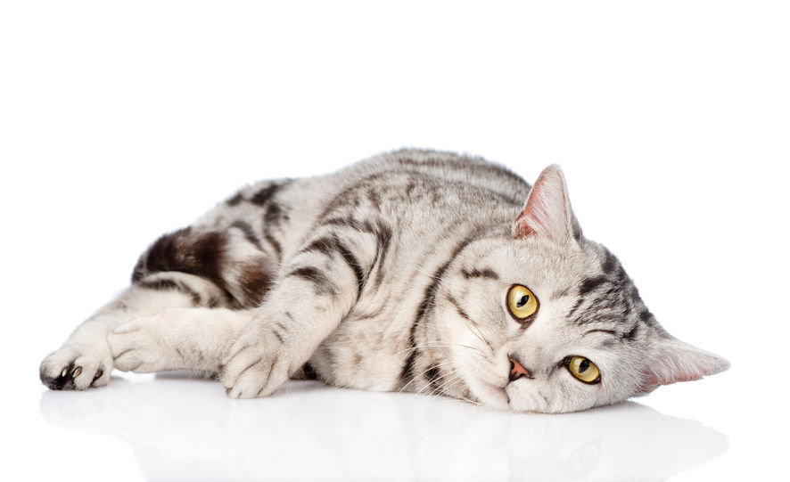 Can humans contract diseases from cats?