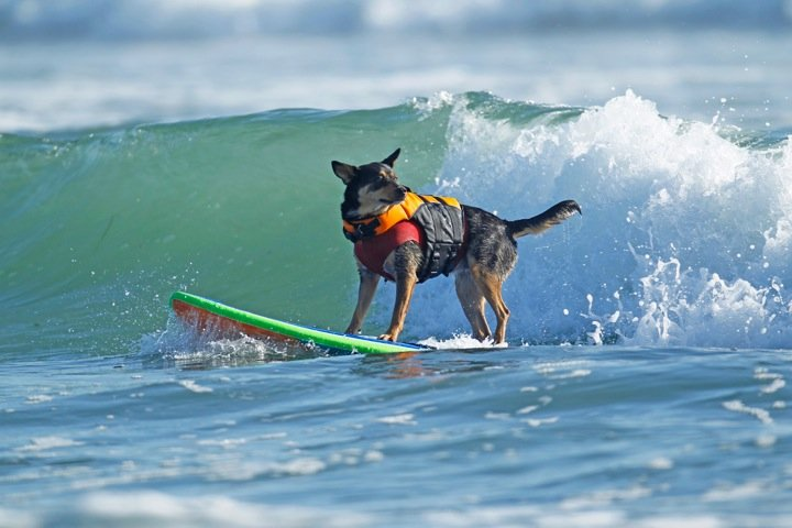 Surfs Up! Pets Who Love the Waves