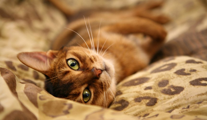 Ten Breeds You Should Consider if You're Looking For a Loving Cat