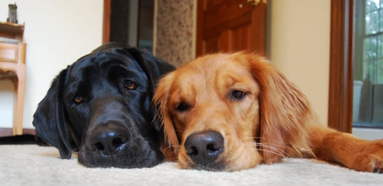 4 Reasons Why Your Dog is Rubbing its Face on the Carpet