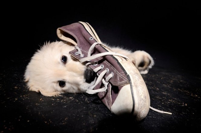 How To Stop Your Dog From Chewing Your Shoes