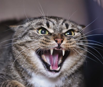 Image result for hissing cat