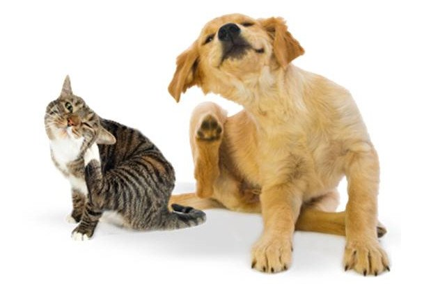The Ultimate Flea Prevention Guide When Facing An Infestation in Your Home