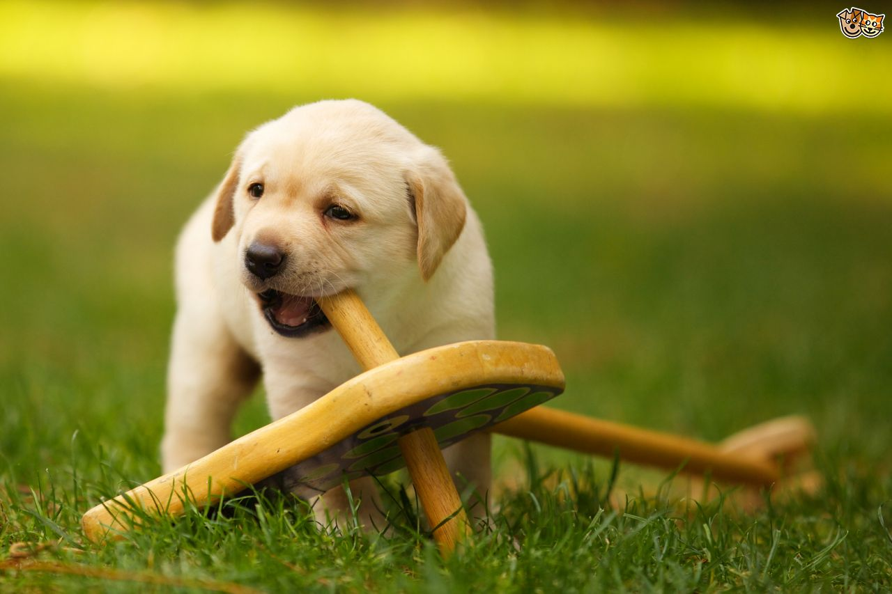 How to Cope with Teething Puppies
