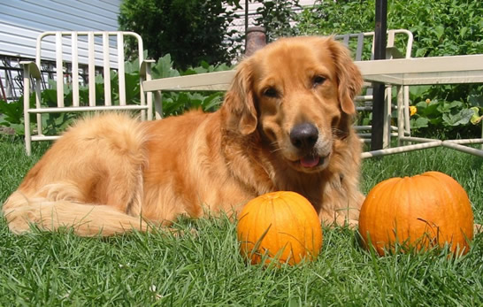 7 Benefits of Adding Pumpkin To Your Pet's Diet