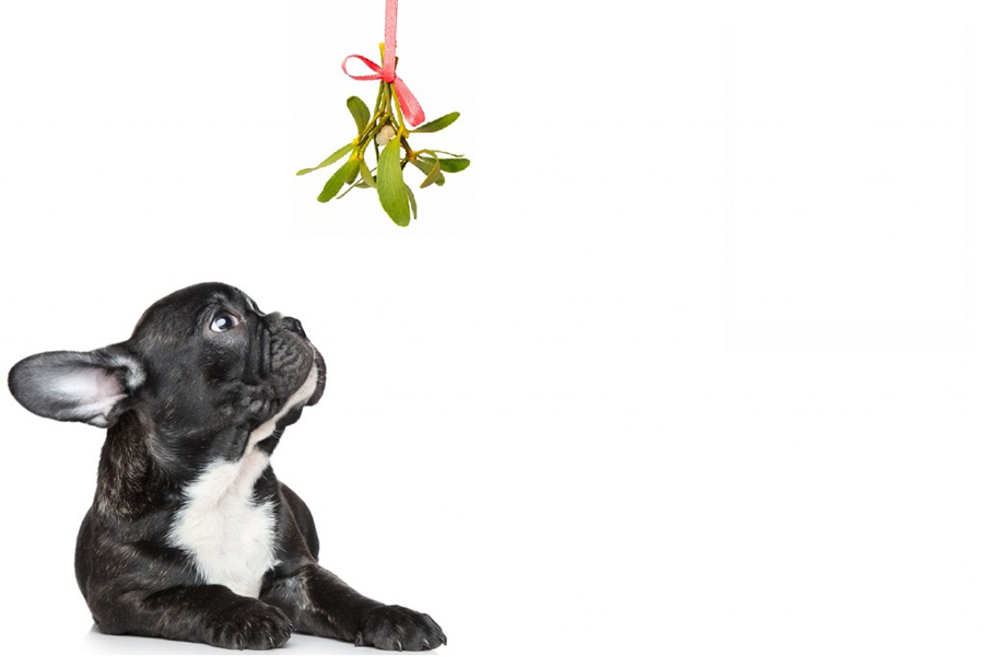 mistletoe dog