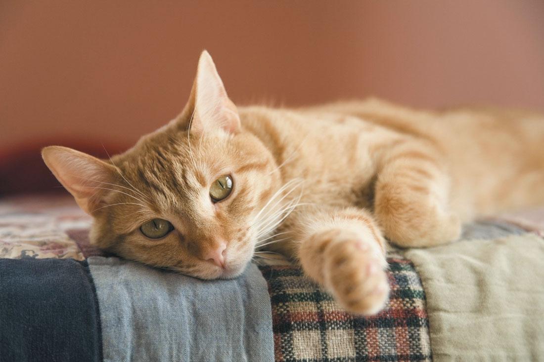 Benefícios de saúde de possuir um gato