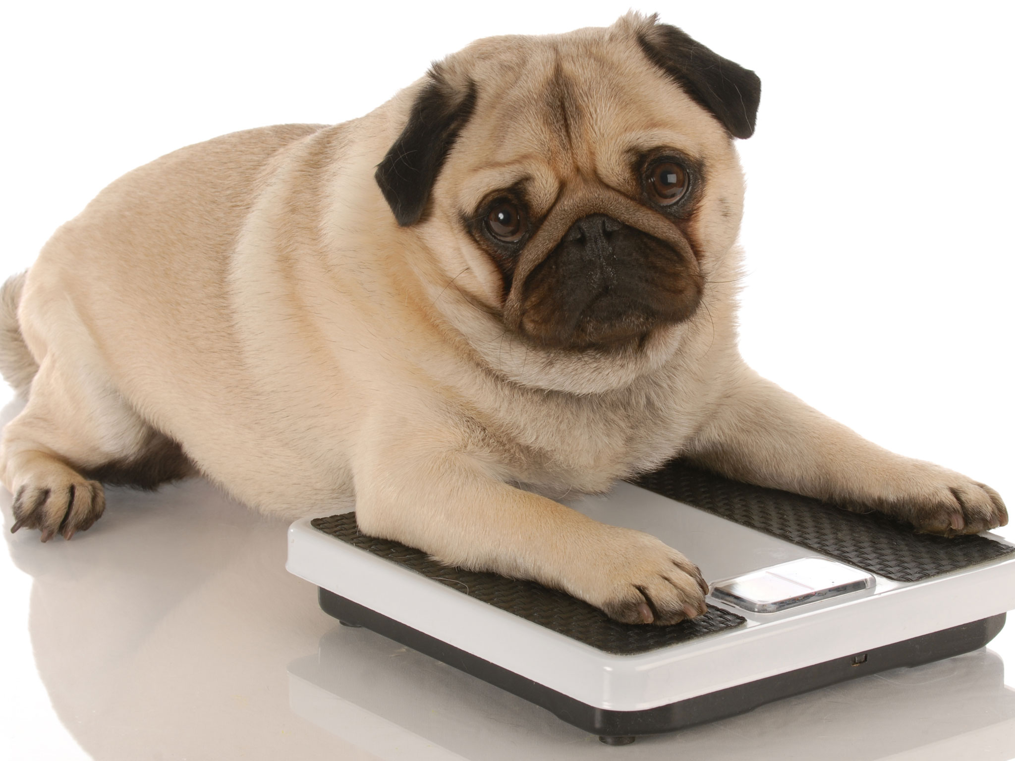 Chubby Dog  - Making Changes To Improve Your Dog's Health