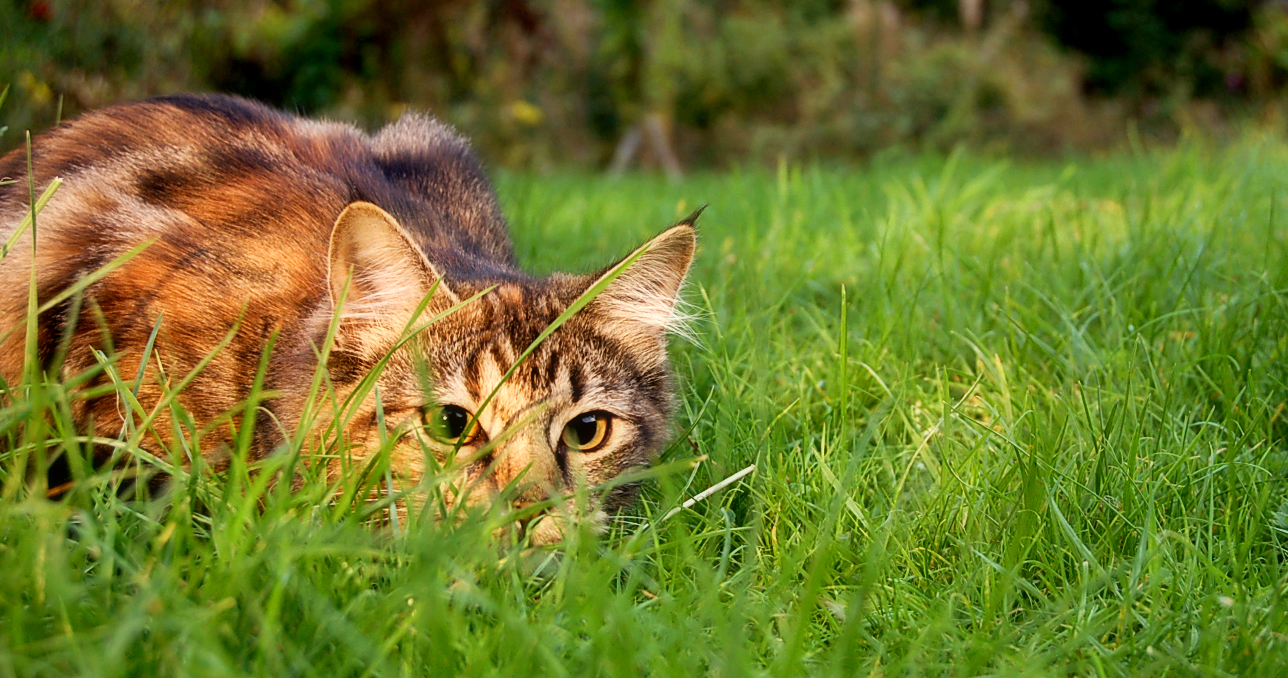 Cats and Wildlife: How to Stop your Cat from Being a Killer