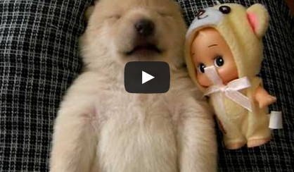 This Shiba puppy dreaming is the most adorable thing you'll watch today!