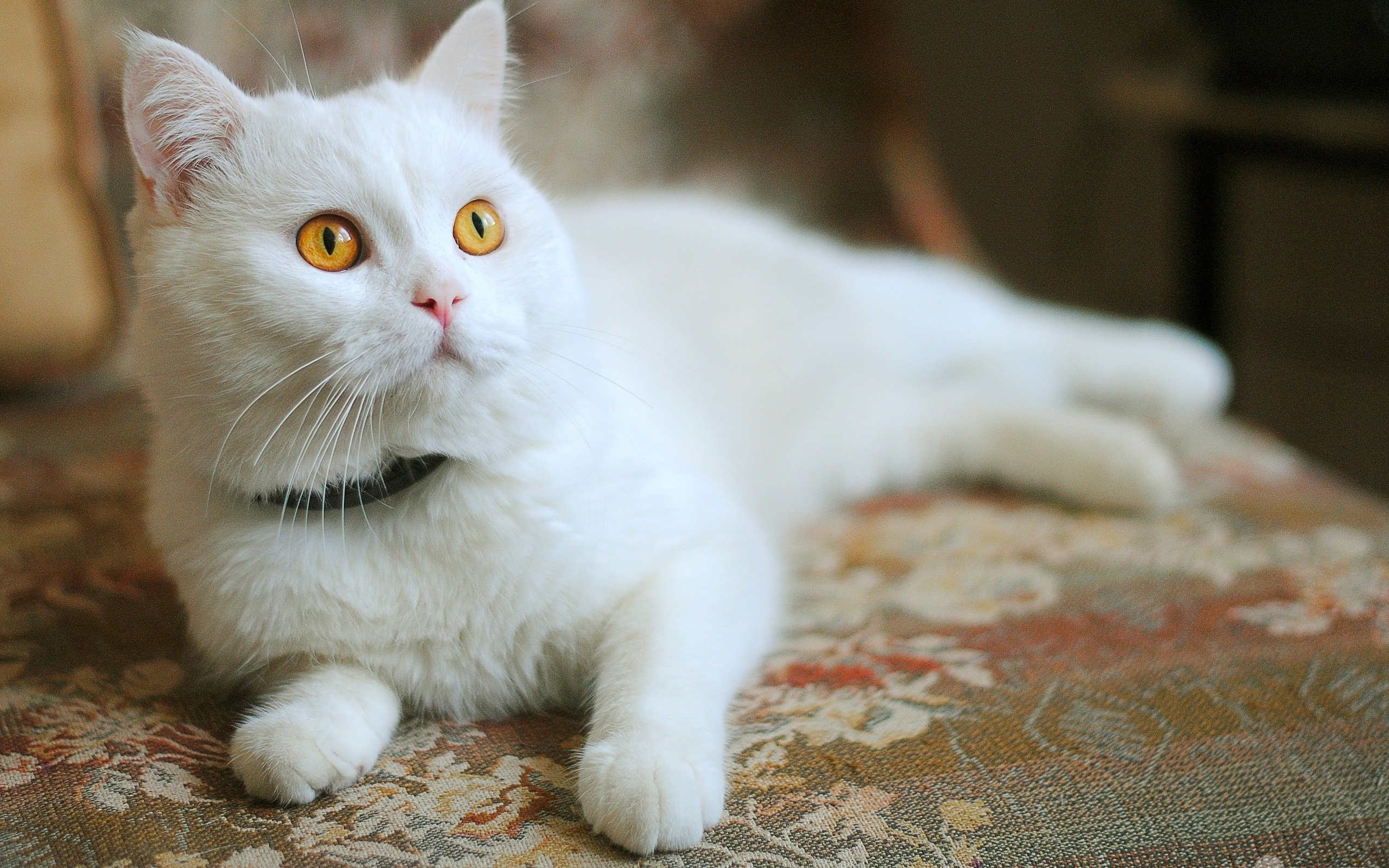Common Infectious Diseases in Cats