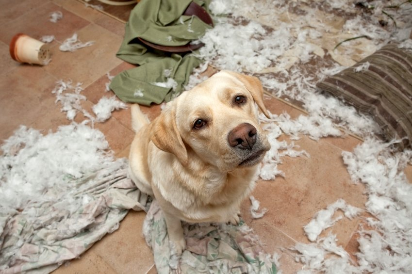 Why Do Dogs Chew Their Bedding?
