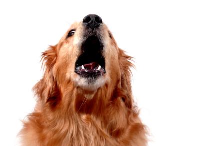 Como parar seu cão de Barking quando eles estão sozinhos em casa