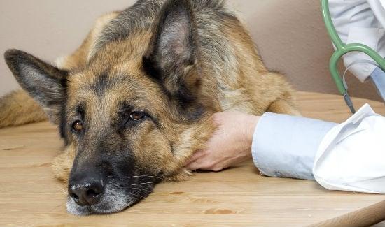 Sinais seu cão está tendo uma crise Addisonian