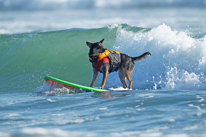 Surfs Up! Animais de estimação que amam as ondas