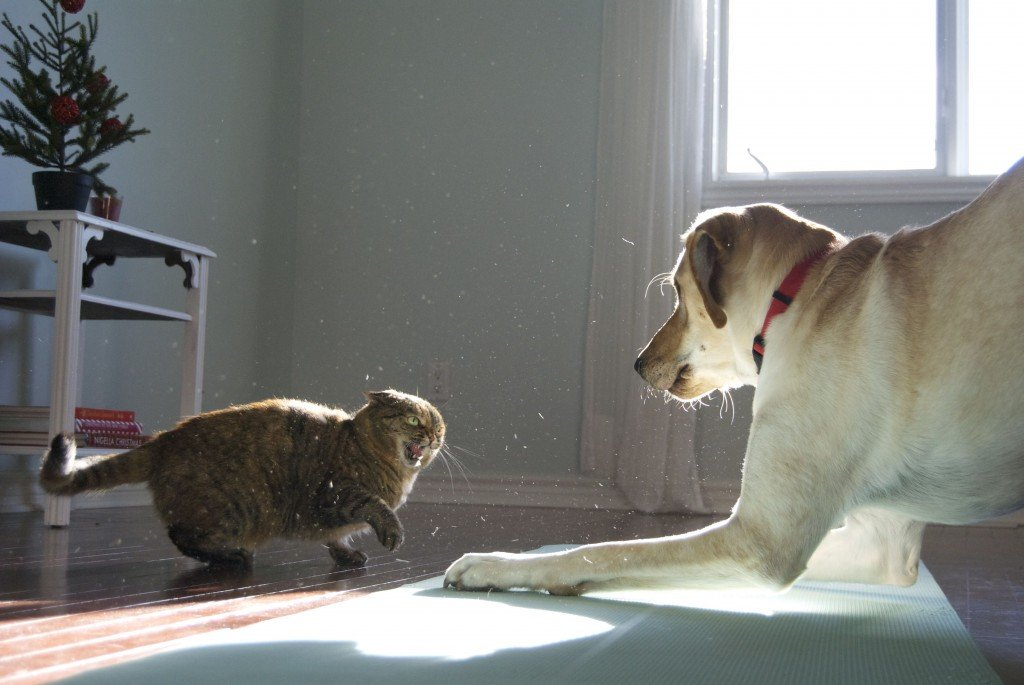 Why Cats Can Be Agressive Towards Dogs