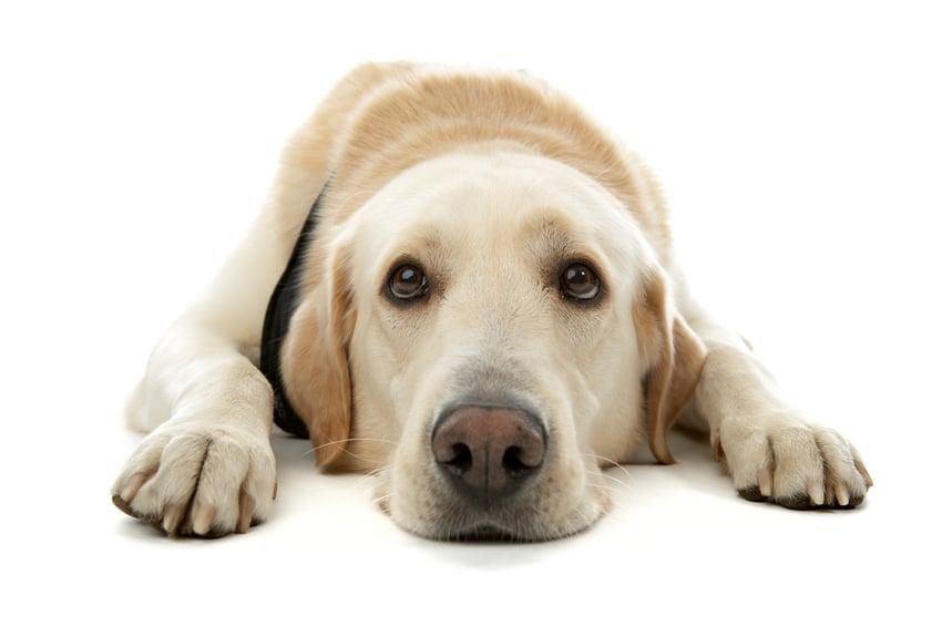 O Dos e Don'ts de fazer contato com os olhos com cães