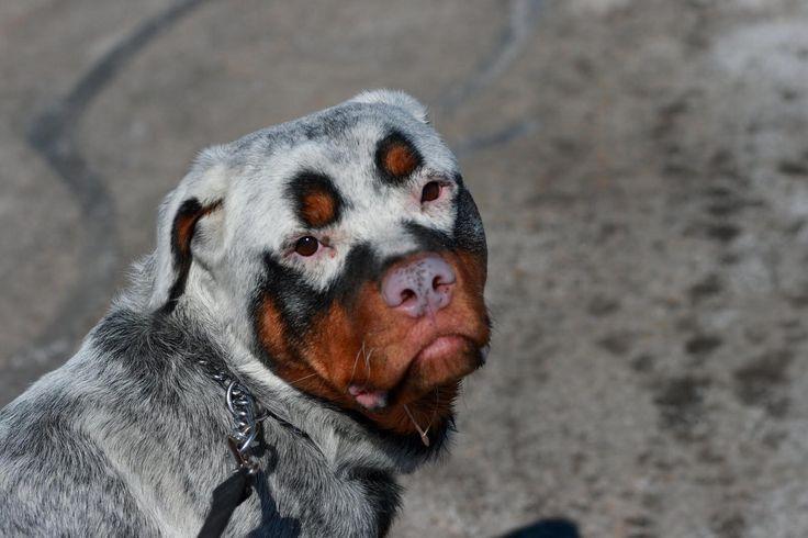 Does Your Pet Have Vitiligo?