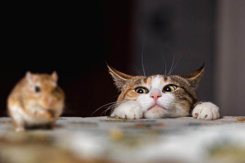 Por que todos os gatos não caçam ratos
