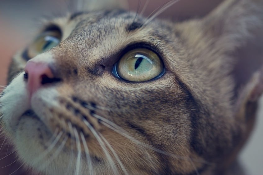 Why do cats have a third eyelid and what does it mean if it's showing?