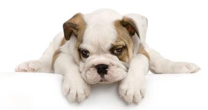 Como os filhotes de cachorro começam sem-fins?