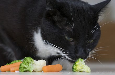 Is It Okay To Feed Your Cat a Vegetarian Diet?