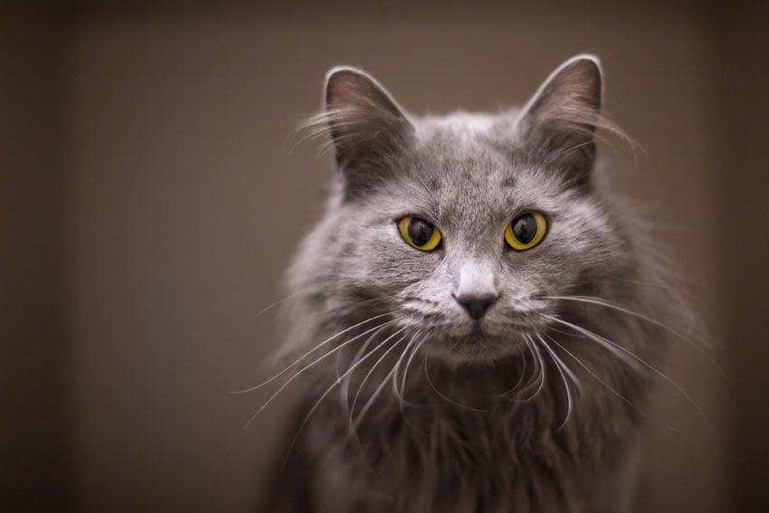 Por que os gatos têm bigodes?