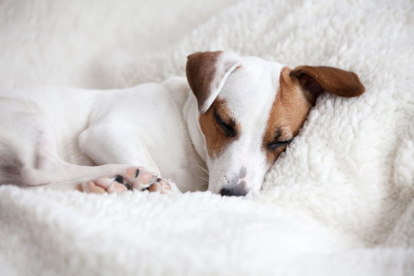 Why do dogs bark in their sleep?