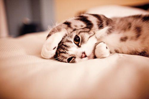 Doença de Heartworm em gatos