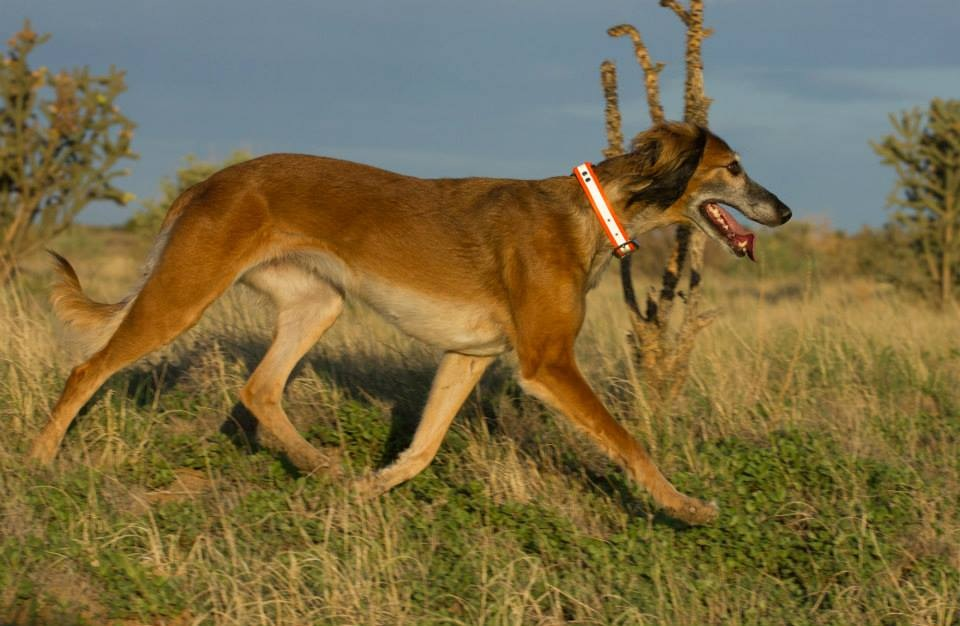 Your Dog's Pacing Gait