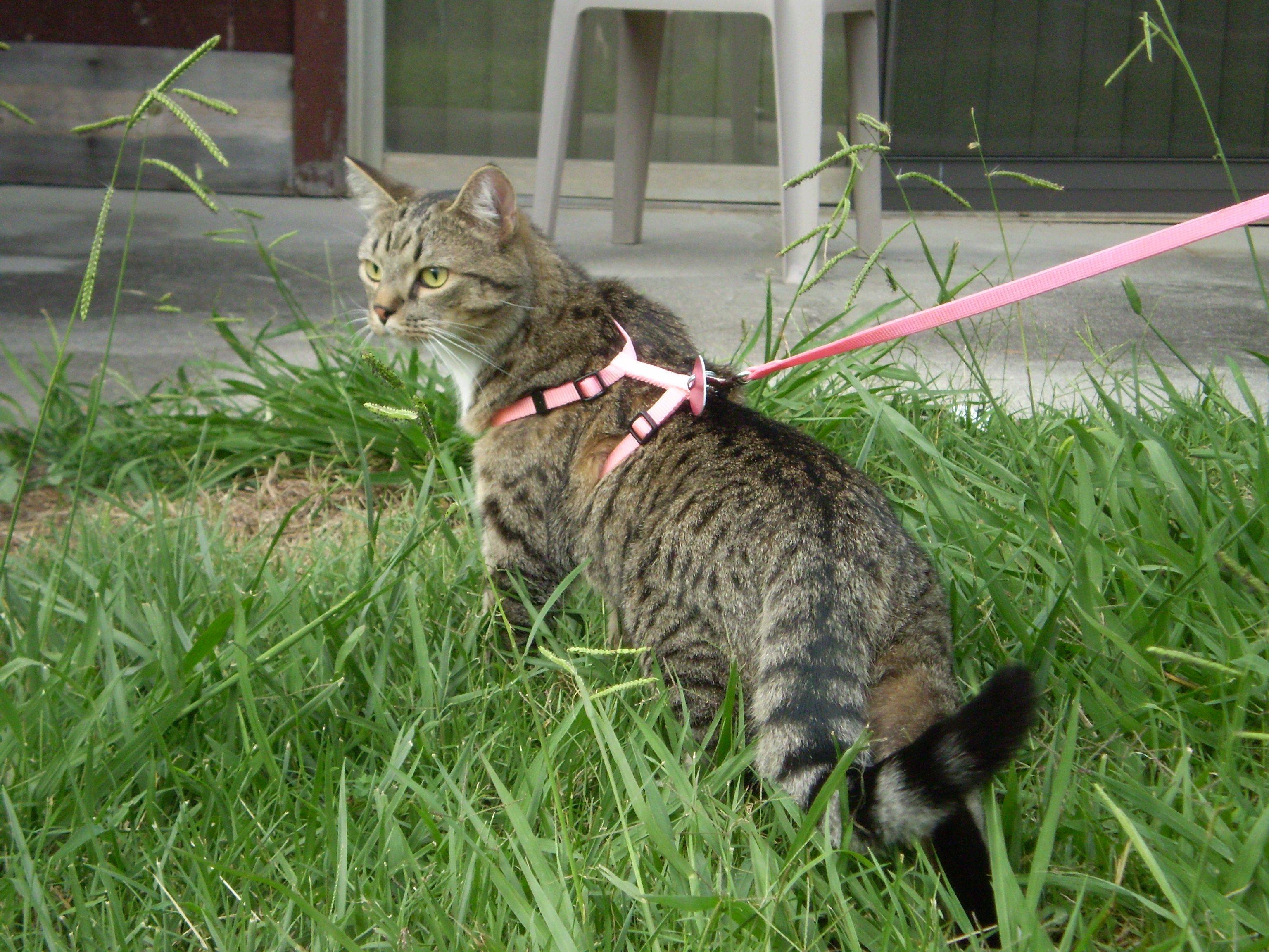 Acontece, você realmente pode levar o seu gato para uma caminhada