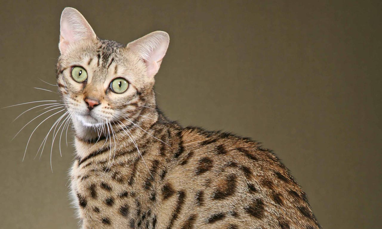 Cat Breeds: More Than You Might Expect