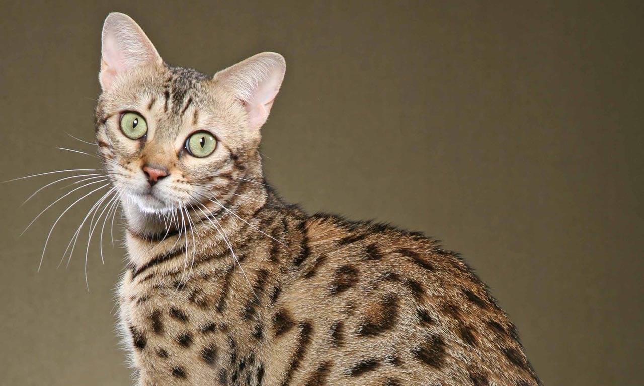 Raças de gato: mais do que você pode esperar