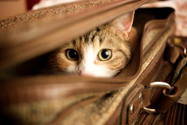 O gato do viagem está indo com você!