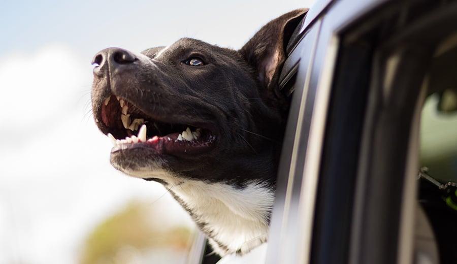 Dicas para levar seu cão em uma longa viagem de carro