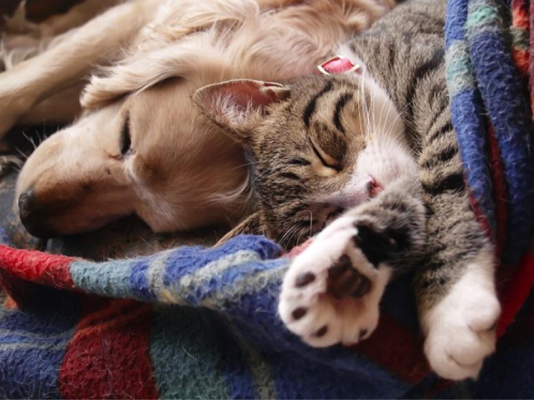 Como introduzir cães para gatos