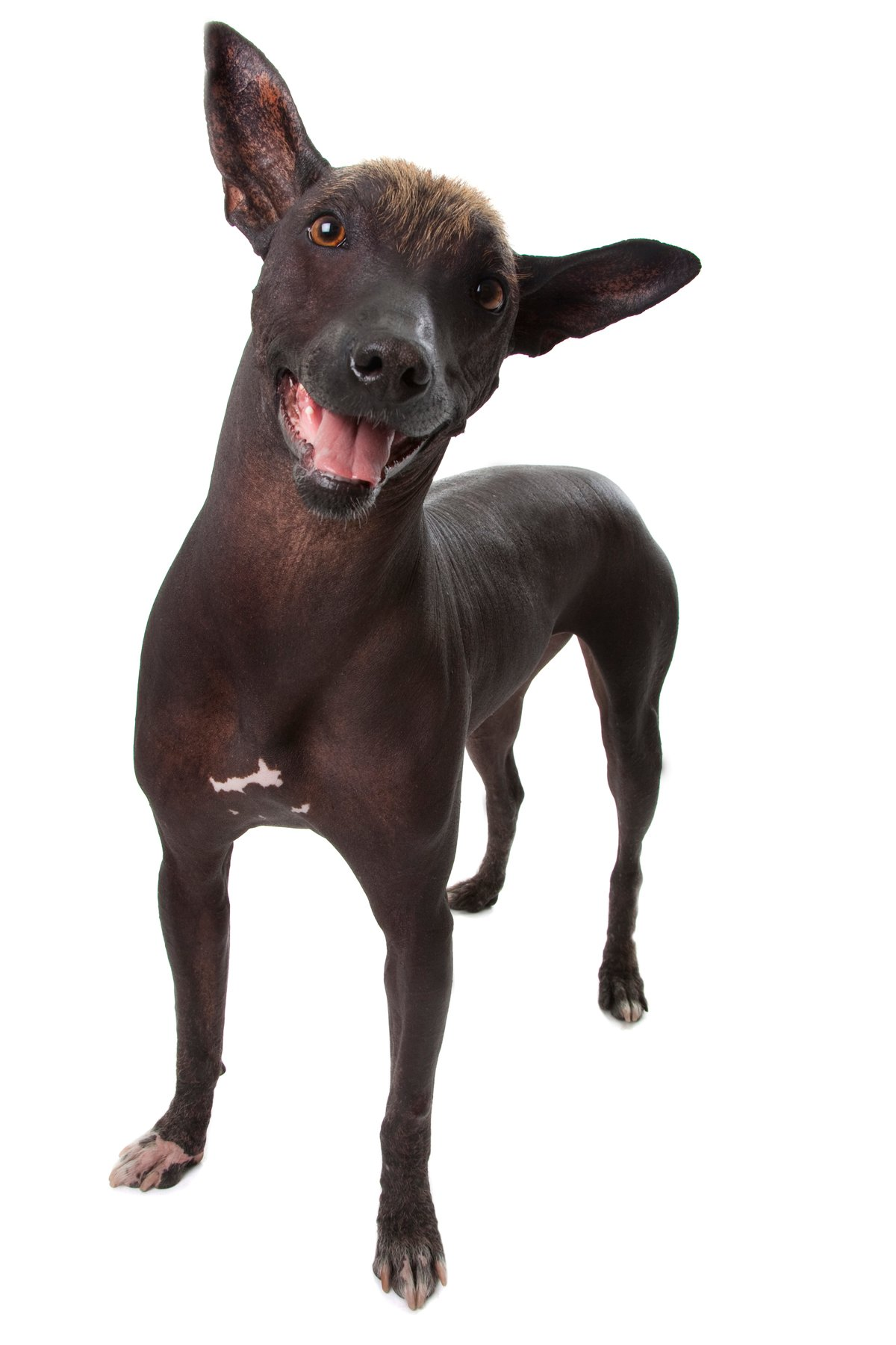 Unusual Breeds: The Xoloitzcuintle